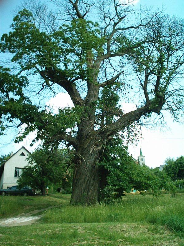 Szenterzsébethegyi szelídgesztenyefa
